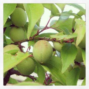 Prune umeboshi