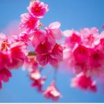 Fleurs cerisiers