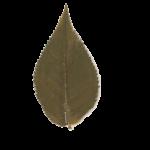 feuille de sakura
