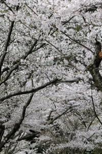 cerisier-blanc