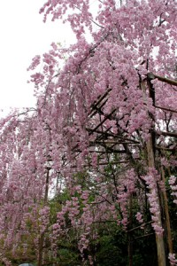 cerisier-rose