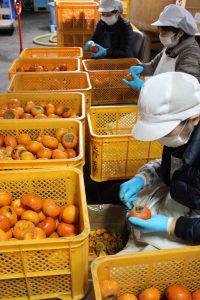 Nettoyage des kakis pour la fabrication vinaigre japonais Umami