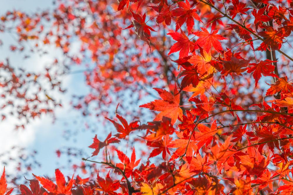 feuilles d'érable japonais, momiji