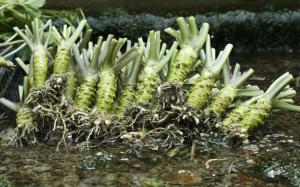Racine de wasabi japonais dans de l'eau raifort japonais