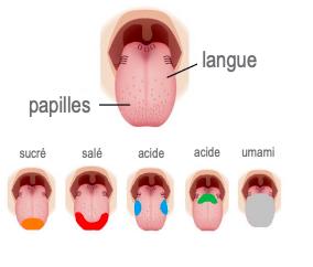 Infographie de la localisation des saveurs sur la langue