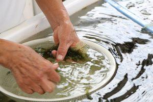 personne qui lave des umi budo à la main