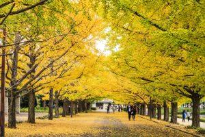 allée entourée d'arbres ginkgo aux feuilles jaunes